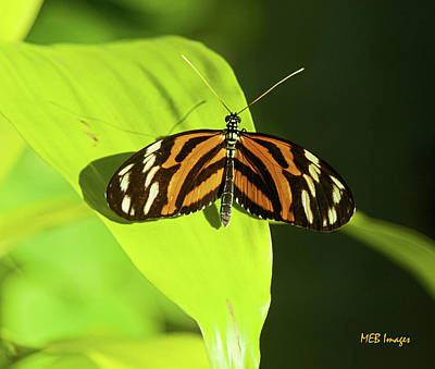 Banded Orange Butterfly Poster by  Margaret Buchanan