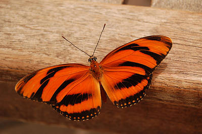 Banded Orange Butterfly On Handrail Poster by Eva Kaufman