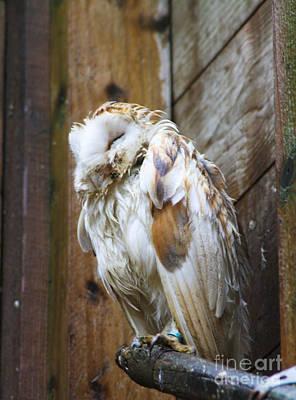 Barn Owl Soggy Poster