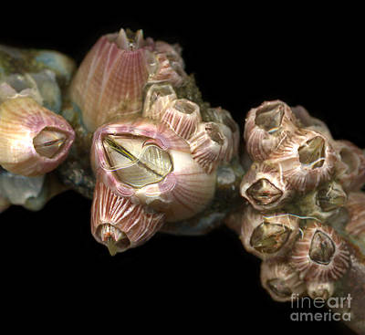 Barnacles Poster by Janeen Wassink Searles