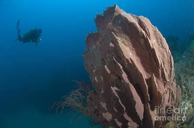 Barrel Sponge And Diver, Papua New Poster by Steve Jones