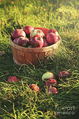 Basket Of Apples In The Orchard Poster by Sandra Cunningham