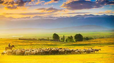 Bathed In Sunset Light Sheep On Grassland Poster