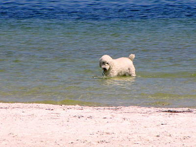 Beach Poodle Poster