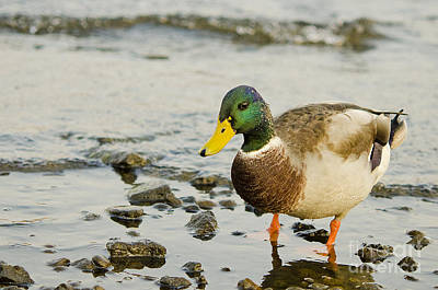 Poster featuring the photograph Beach Strolling Mallard by MaryJane Armstrong