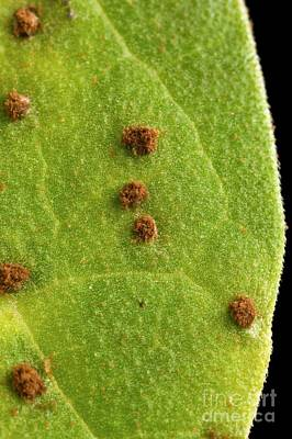 Bean Leaf With Rust Pustules Poster by Science Source