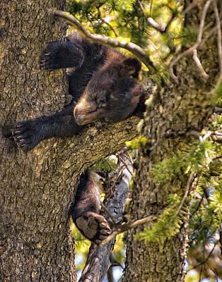 Bear Cub Knapping Up A Tree Poster by Paul W Sharpe Aka Wizard of Wonders