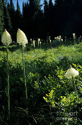 Bear-grass II Poster by Sharon Elliott