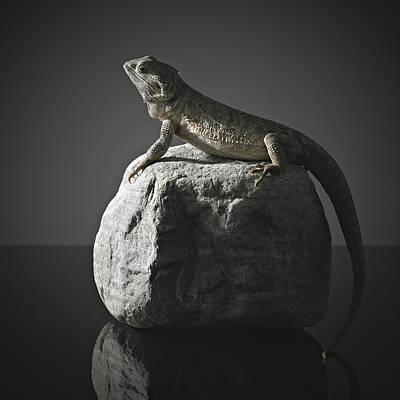 Bearded Dragon On Rock Poster by Darren Woolridge Photography - www.DarrenWoolridge.com