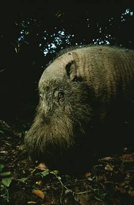 Bearded Swine Sus Barbatus Poster by Mattias Klum