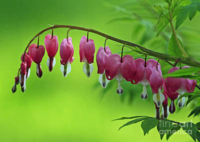 Beautiful Bleeding Hearts At Sunrise Poster by Inspired Nature Photography Fine Art Photography