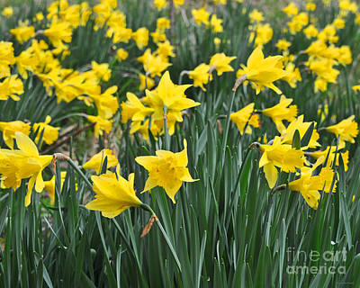 Beautiful Daffodil Field Floral Print Poster