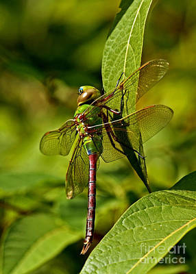 Beautiful Exotic Iridescent Dragonfly On A Leaf In The Forest Poster by Inspired Nature Photography Fine Art Photography