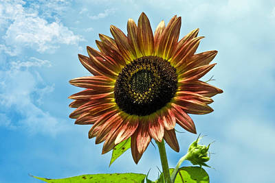 Poster featuring the photograph Beautiful Sunflower by Susan Leggett