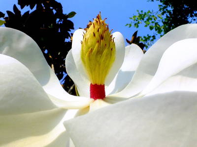Bed Of Magnolia Poster by Karen Wiles