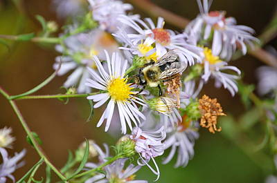 Poster featuring the photograph Bee On Aster by Mary McAvoy