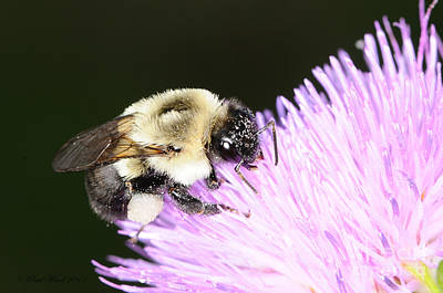 Bee On Flower Poster by Paul Ward