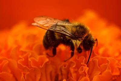 Bee On Orange Flower Poster by Andre Faubert
