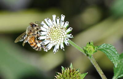 Poster featuring the photograph Bee On White Clover by Jodi Terracina