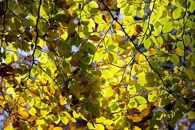 Beech Tree Foliage Poster by Dr Keith Wheeler