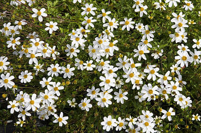 Beggartick Bidens Sp Alba Variety Poster by VisionsPictures