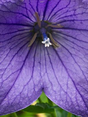 Bell Flower Upclose Poster by Douglas Barnett