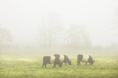Belted Galloway Cows Grazing On Foggy Farm Field Maine Poster by Keith Webber Jr