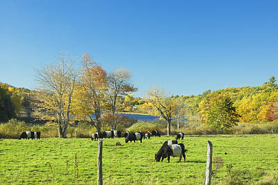 Belted Galloway Cows Grazing On Grass In Rockport Farm Fall Main Poster by Keith Webber Jr