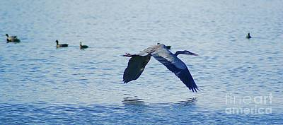 Poster featuring the photograph Big Blue Heron Flying Away From Me by John  Kolenberg