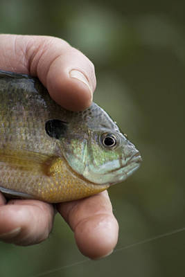 Big Man Hand - Little Crappie Poster by Kathy Clark