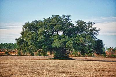 Big Oak In Middle Of Field Poster by Michael Thomas