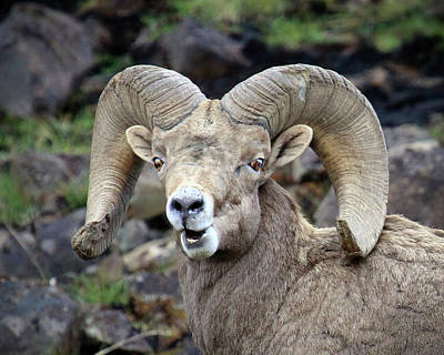 Poster featuring the photograph Bighorn Giant by Steve McKinzie