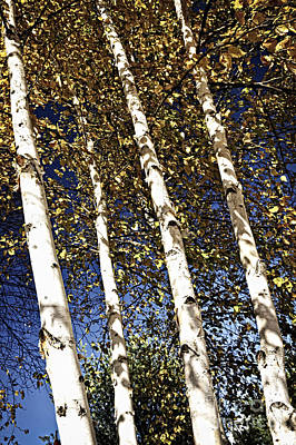 Birch Trees In Fall Poster