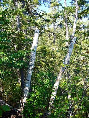 Poster featuring the photograph Birch Trees by Jim Sauchyn