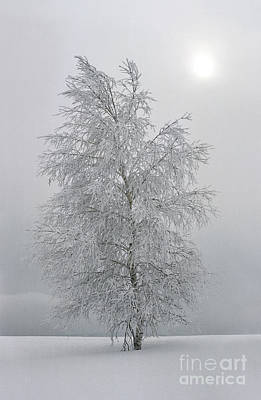 Birch With Hoarfrost  Poster by Elena Filatova