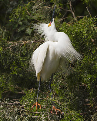 Bird Mating Display - Snowy Egret  Poster by Bill Swindaman