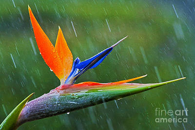 Bird-of-paradise In Rain Poster by Heiko Koehrer-Wagner