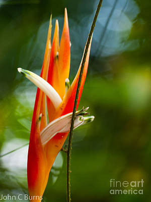 Poster featuring the photograph Bird Of Paradise by John Burns