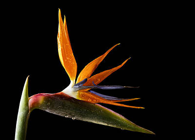 Bird Of Paradise Poster by Fiona Messenger