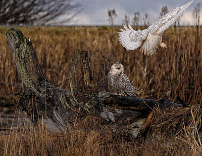 Birds Of Bc - No.14 - Snowy Owl Fly By Poster by Paul W Sharpe Aka Wizard of Wonders