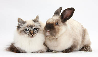 Birman Cat And Colorpoint Rabbit Poster by Mark Taylor