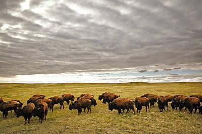 Bison Grazing, Saskatchewan, Canada Poster