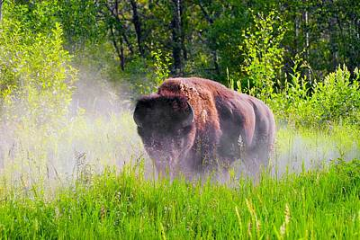 Bison Pawing The Dirt Poster by Don Hammond