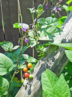 Bittersweet Nightshade - Solanum Dulcamara Poster