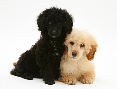 Black And Apricot Miniature Poodles Poster by Jane Burton
