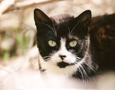 Poster featuring the photograph Black And White Feral Cat by Chriss Pagani
