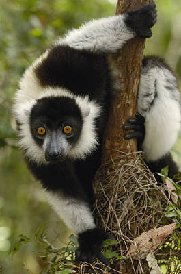 Black And White Ruffed Lemur Varecia Poster by Pete Oxford