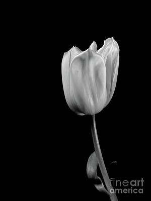 Black And White Tulip Poster by Dariusz Gudowicz