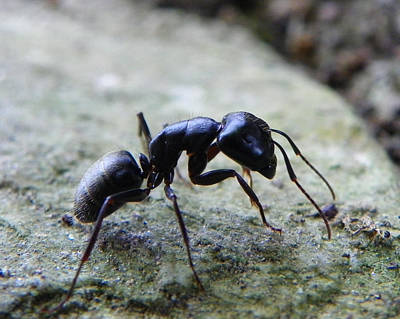Poster featuring the photograph Black Ant 2 by Chad and Stacey Hall