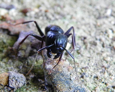 Poster featuring the photograph Black Ant by Chad and Stacey Hall